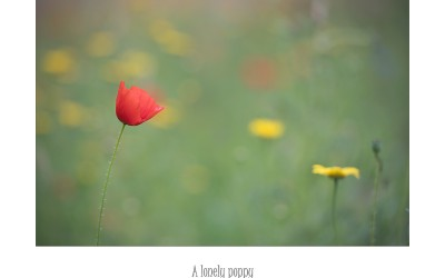 A lonely poppy
